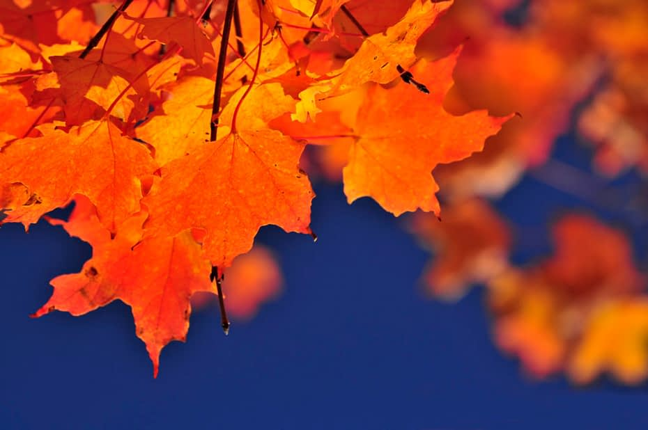Red fall maple tree leaves on blue sky background