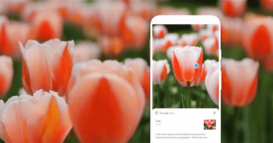 Tulips on a Google Lens